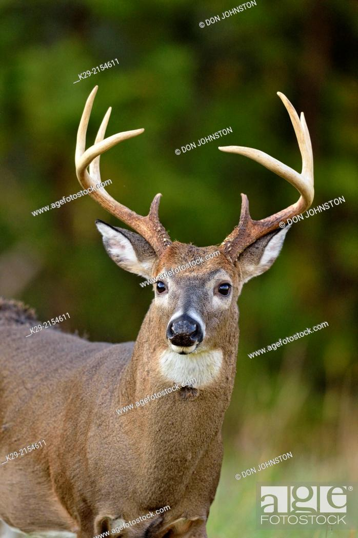 Stock Photo: White-tailed deer (Odocoileus virginianus) Male/buck/stag in Cades Cove with autumn antlers, Great Smoky Mountains NP, Tennessee, USA.