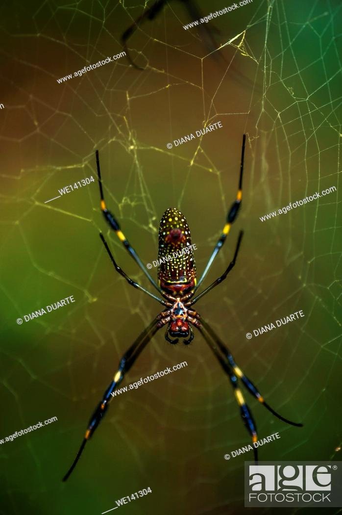"""Stock Photo: """"""""""""""""""""Golden silk orb-weaver"""""""" (Nephila); This spider normally rests in the center of her enormous web made of brilliant gold-colored silk."""