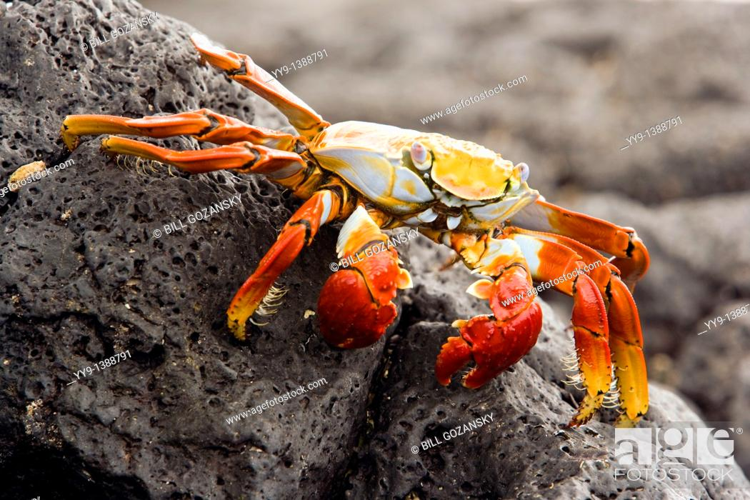 Stock Photo: Sally Lightfoot Crab Red Rock Crab at Barge Beach - Santa Cruz Island, Galapagos Islands, Ecuador.
