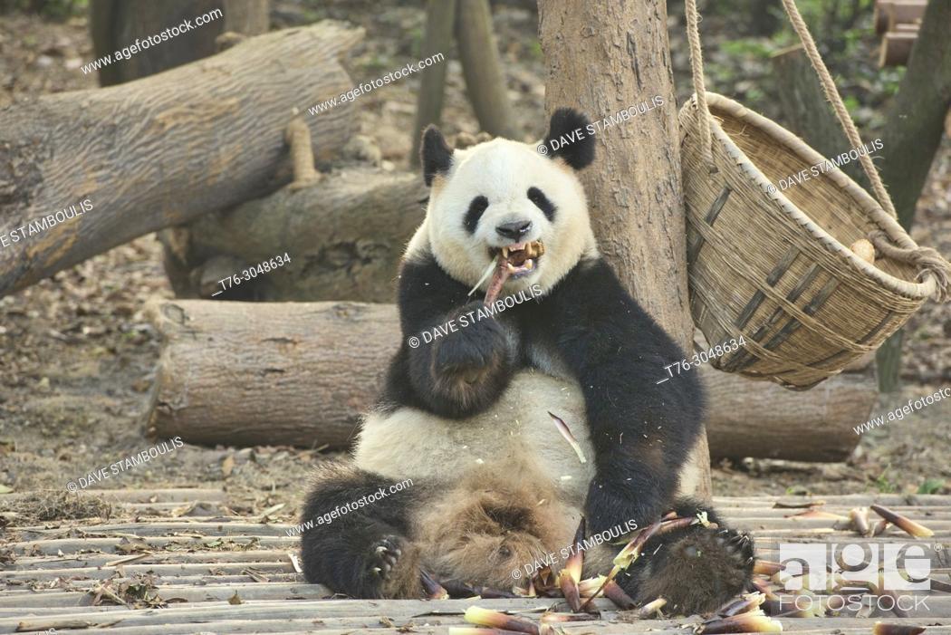 Stock Photo: Giant panda eating bamboo at the Chengdu Research Base of Giant Panda Breeding in Chengdu, Sichuan, China.