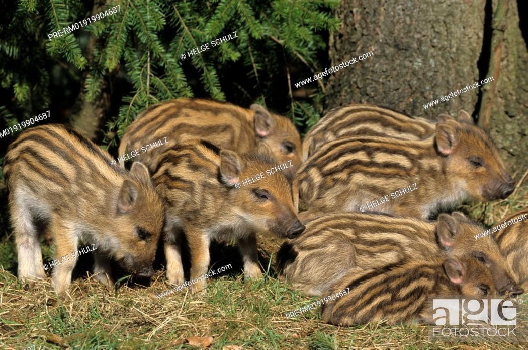 Stock Photo: Wild Boar - piglets , Sus scrofa.