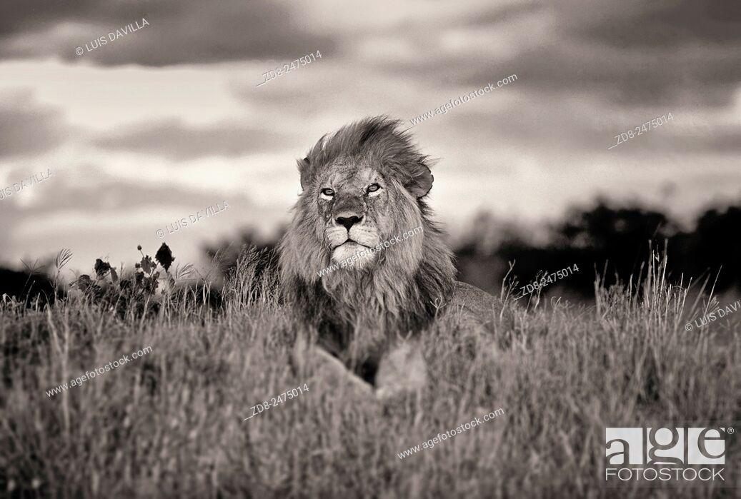 Stock Photo: lion in masa mara national park. kenia.