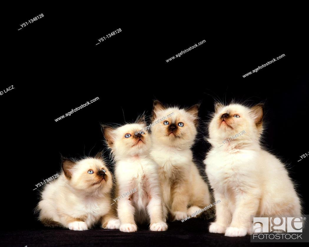 Stock Photo: BIRMANESE DOMESTIC CAT, KITTENS SITTING.