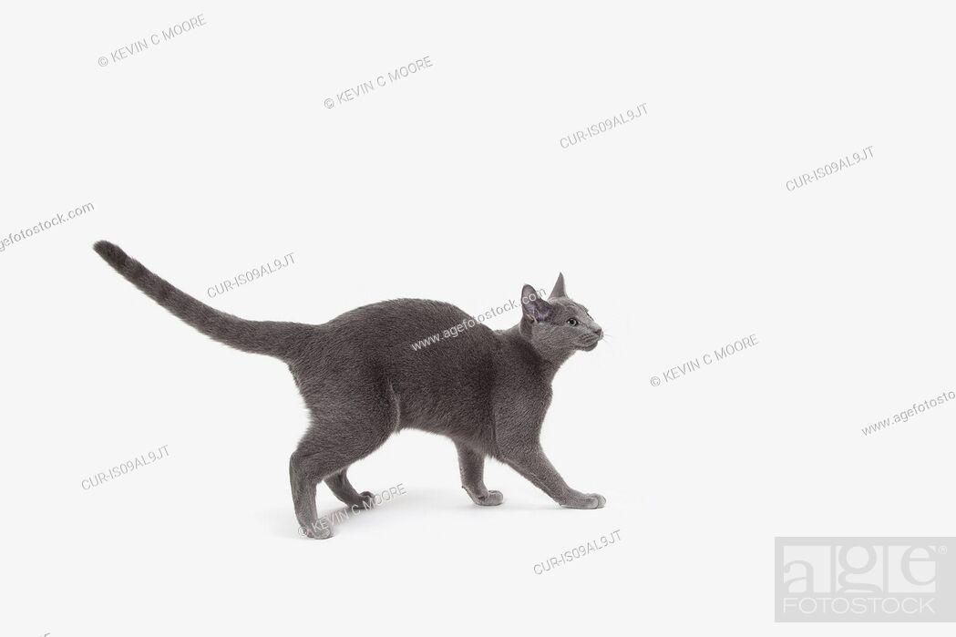 Imagen: Russian Blue cat walking, ready to pounce.
