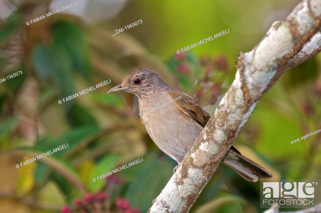 Imagen: Pale-breasted thrush (Turdus leucomelas) perched in the rain forest of northern Venezuela.
