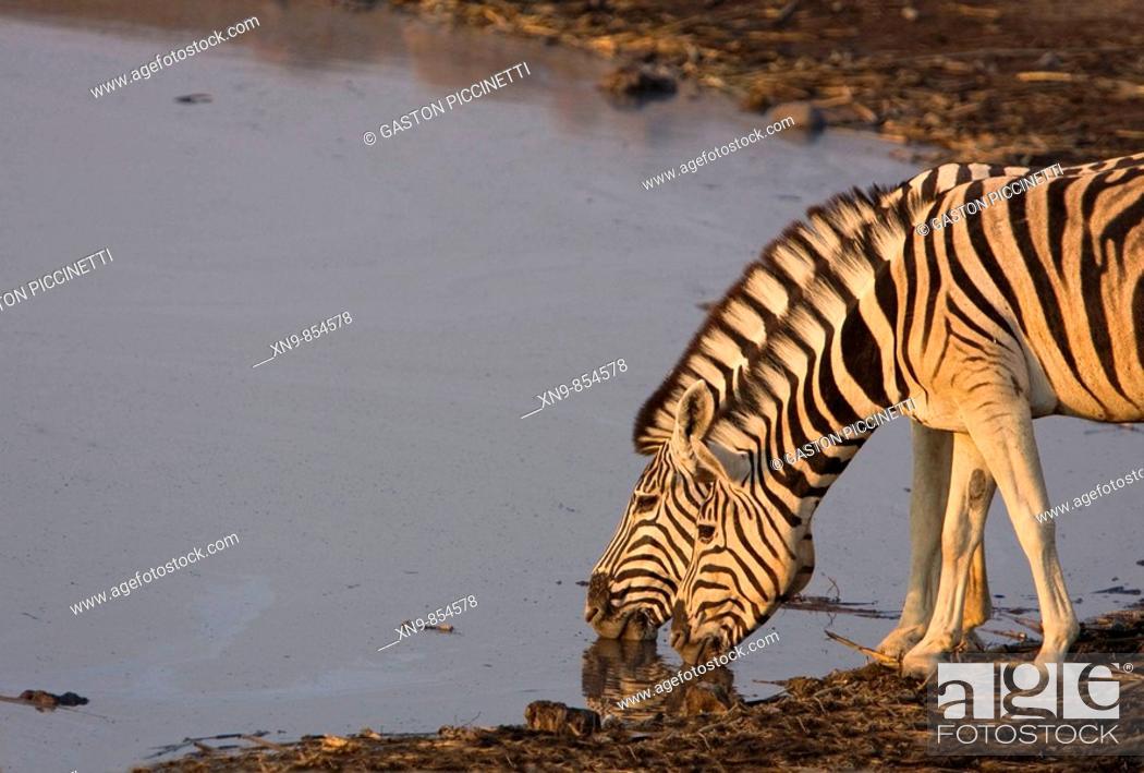 Stock Photo: Burchell`s zebras (Equus quagga) drinking water, Etosha National Park, Namibia.