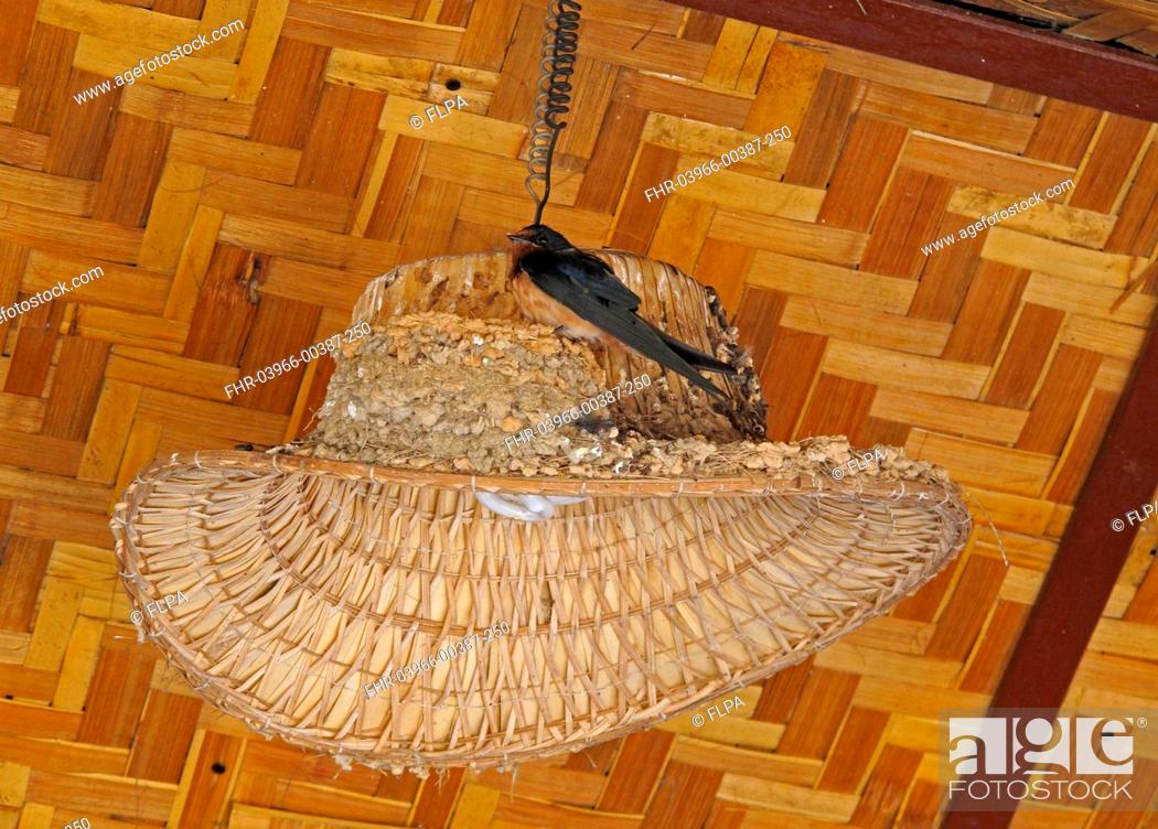 Stock Photo: Barn Swallow (Hirundo rustica gutturalis) adult, perched at nest on lampshade in restaurant, Thaton, Chiang Mai Province, Thailand, November.