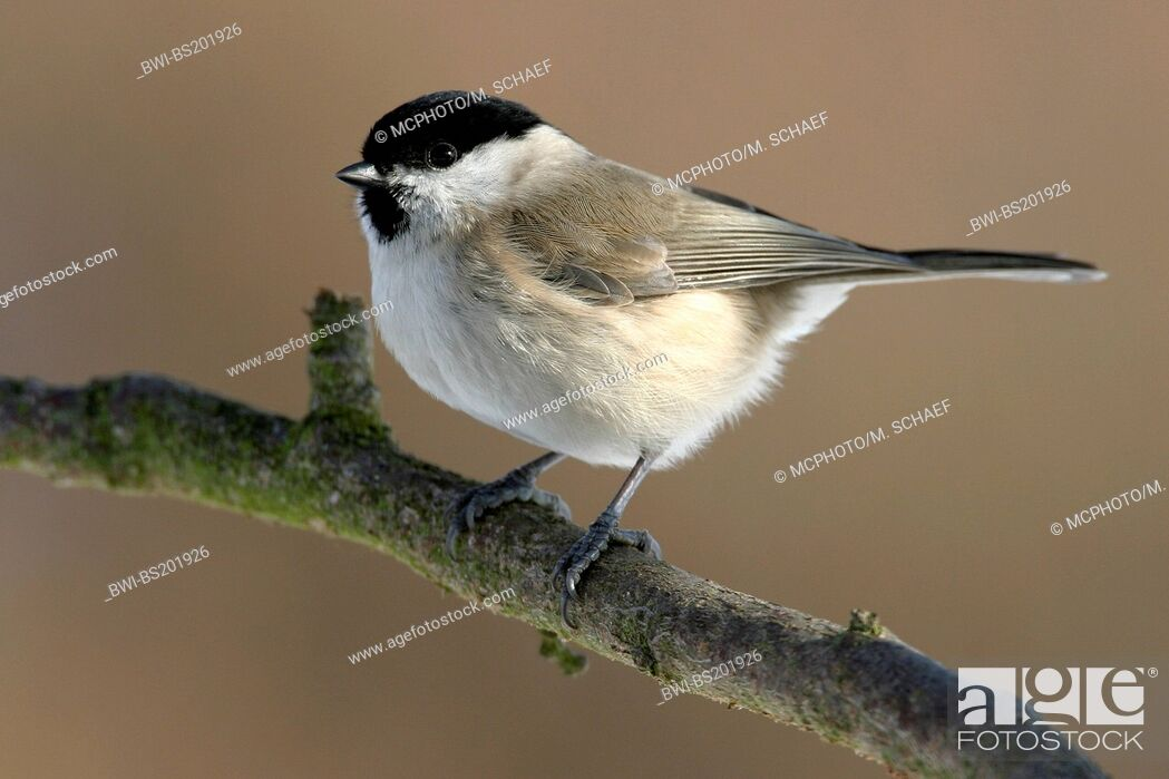 Imagen: Marsh tit (Poecile palustris, Parus palustris), sitting on a branch, Germany, Rhineland-Palatinate.