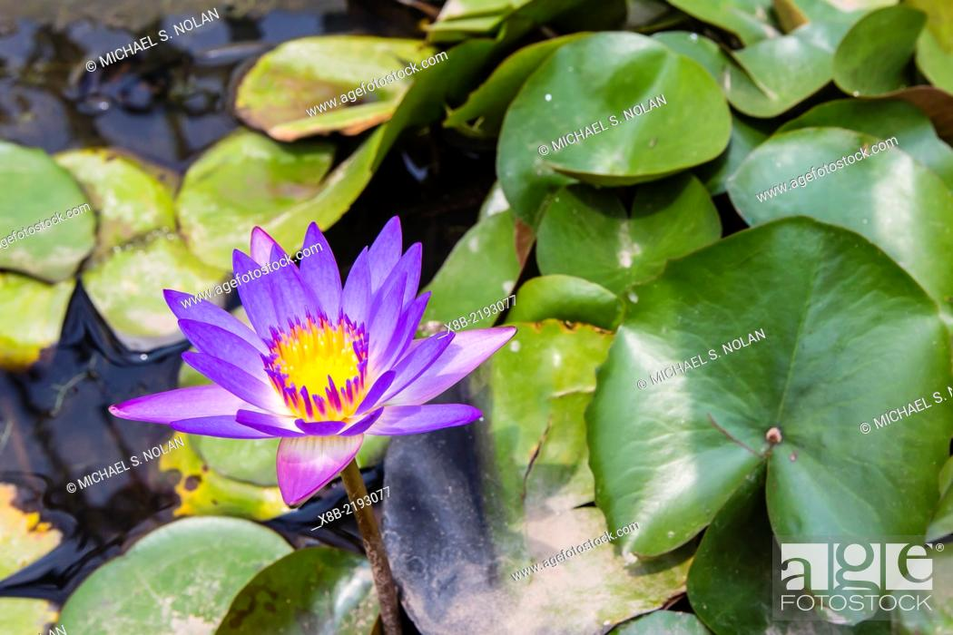Stock Photo: Water-lilies, Nymphaea spp, in Phnom Penh, along the Mekong River, Cambodia (Khmer).