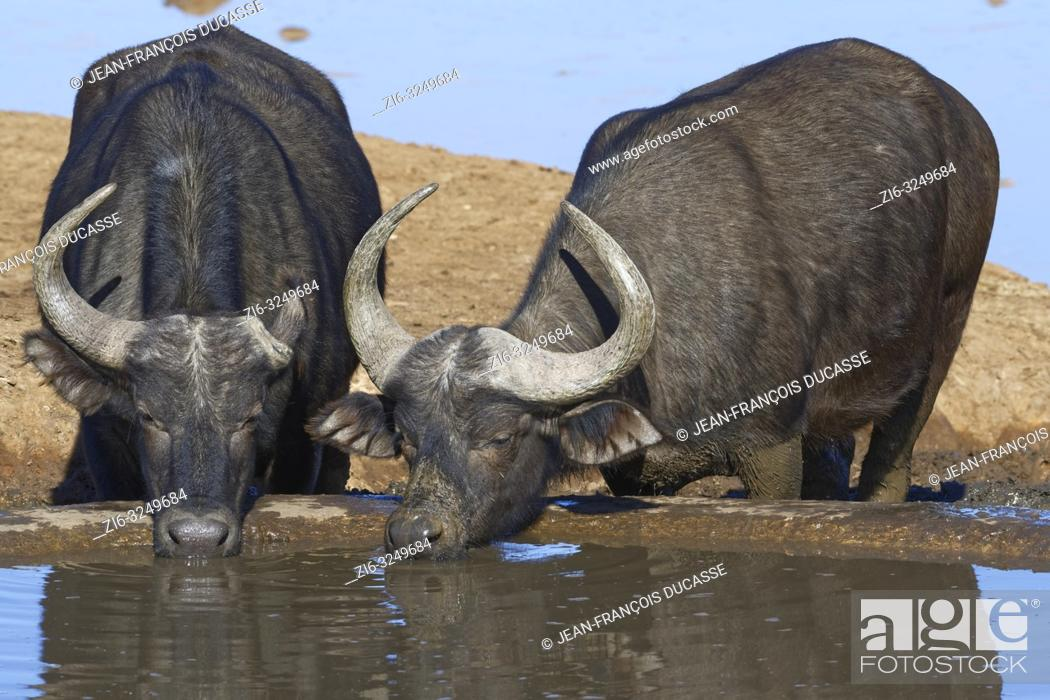 Stock Photo: African buffaloes (Syncerus caffer), two adults, one with a single horn, drinking at a waterhole, Addo Elephant National Park, Eastern Cape, South Africa.