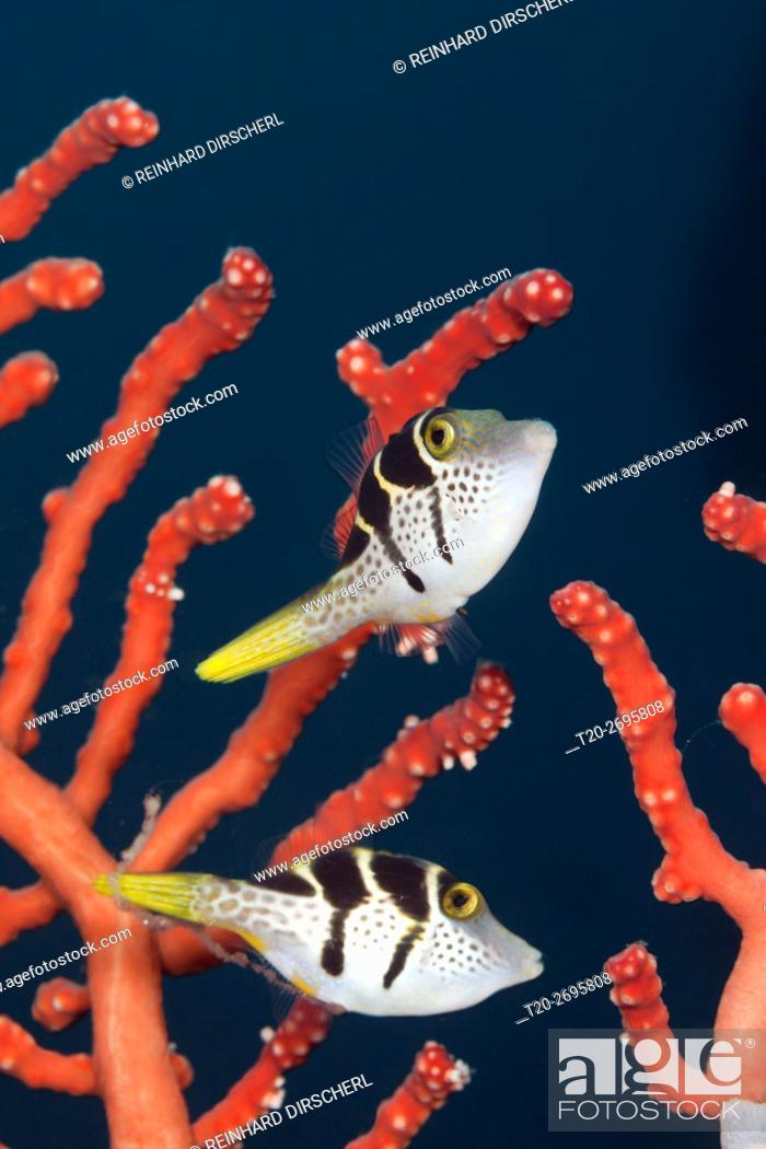 Stock Photo: Pair of Black-saddled Puffer, Canthigaster valentini, Ambon, Moluccas, Indonesia.