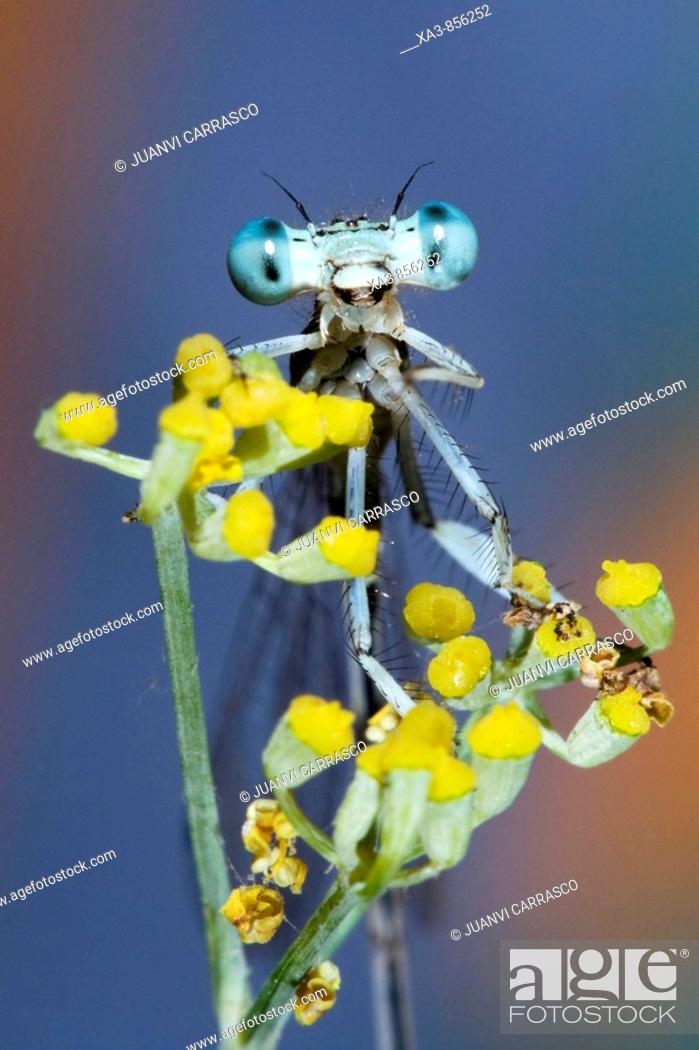 Stock Photo: Damselfly on a fennel looking camera.