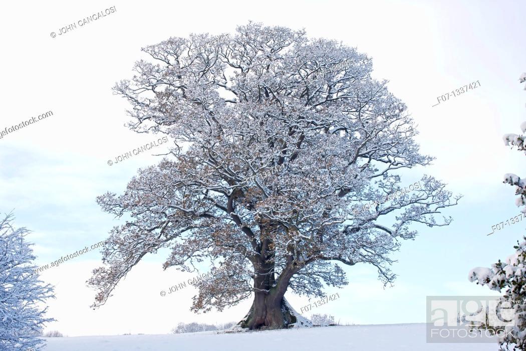 Stock Photo: Winter scene - Snow on mature oak Quercus - Hereforeshire - UK - December 2010.