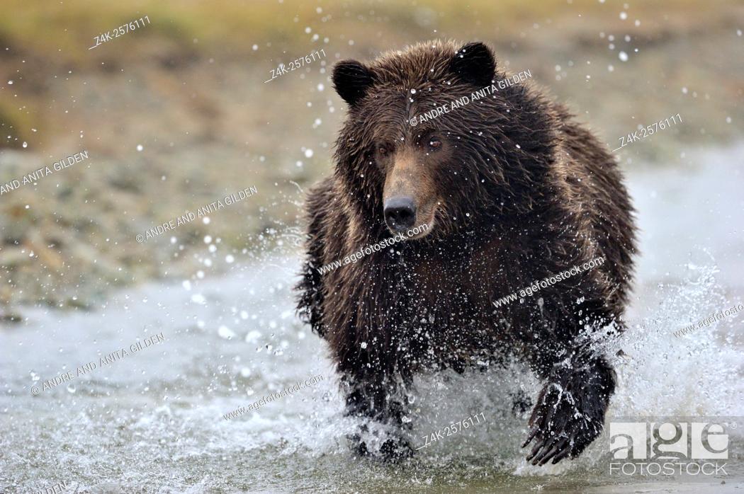 Imagen: Grizzly Bear (Ursus arctos horribilis) fishing on salmon in river, Kinak bay, Katmai national park, Alaska, USA.