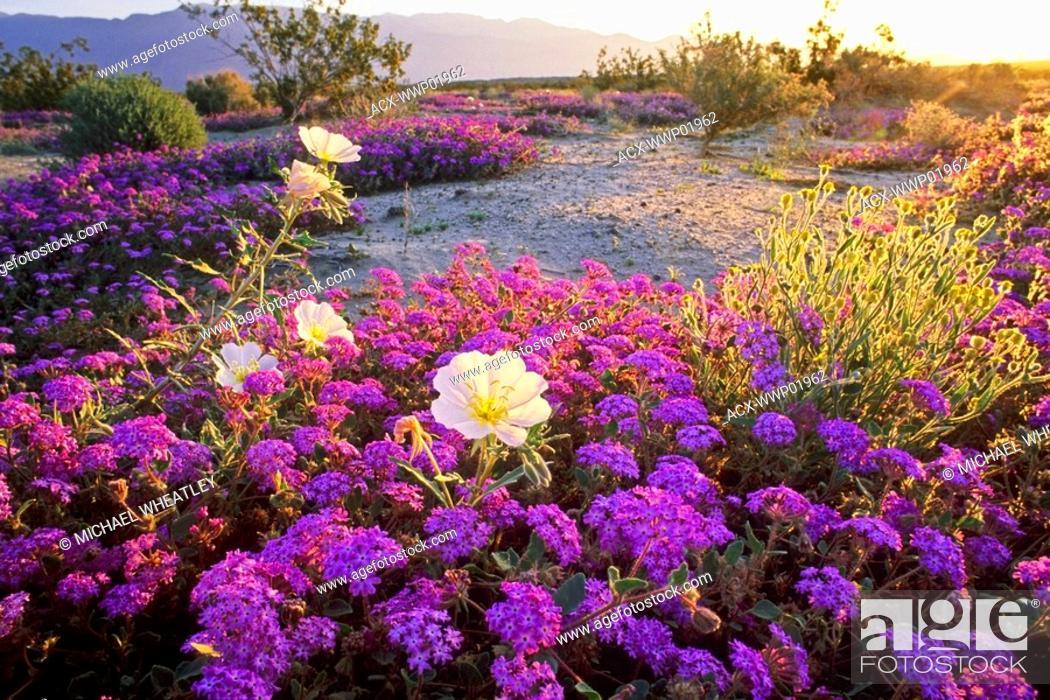 Stock Photo: Evening primrose and pink sand verbena, Anza Borrego State Park, California, USA.
