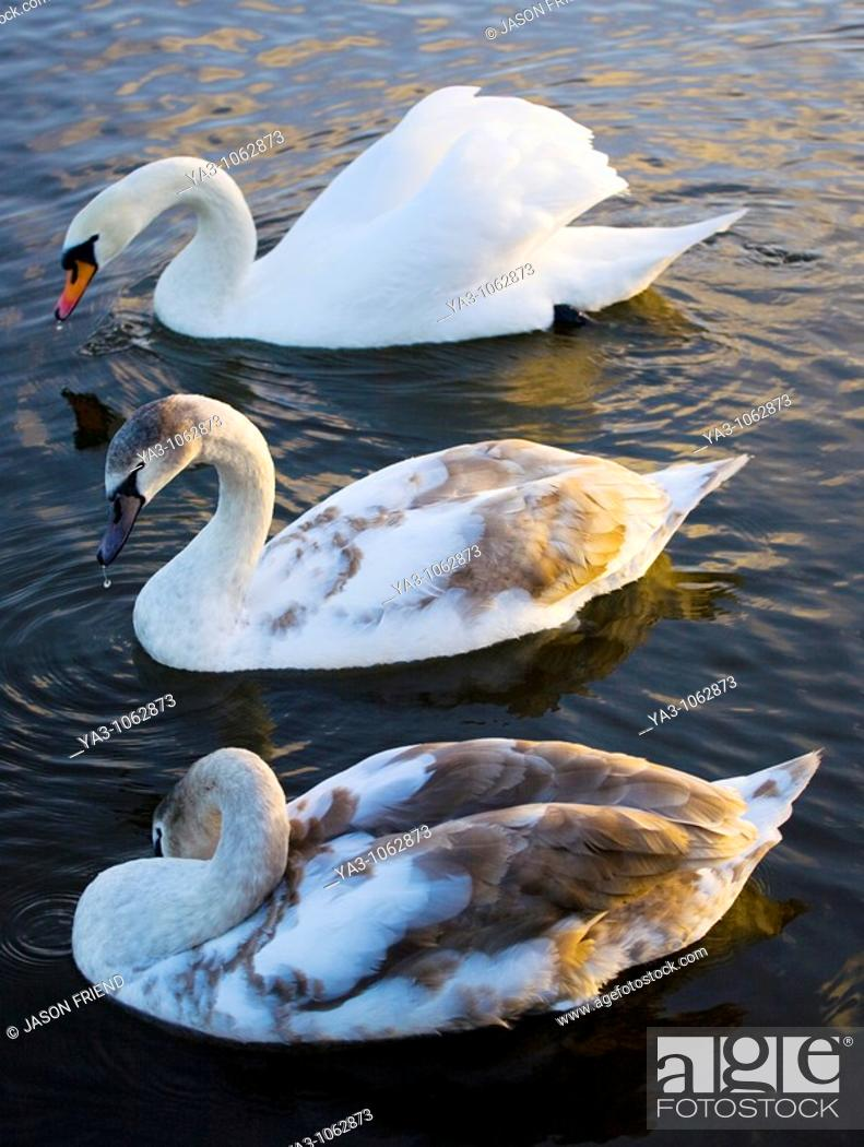 Stock Photo: England, Tyne & Wear, Watergate Forest Park  Royal protected Swans on a small lake in the Watergate Forest Park.