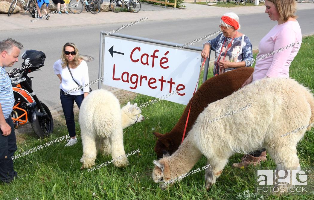 Stock Photo: 09 May 2020, Saxony, Kahnsdorf: A first hike this year with the alpacas of Diana Gröhmann (r) from the Alpaca-Shop Leipziger Land can be enjoyed by a family.