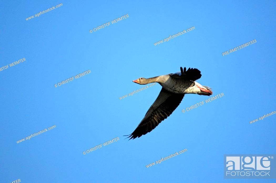 Stock Photo: Graylag goose, grey lag goose, Anser anser.