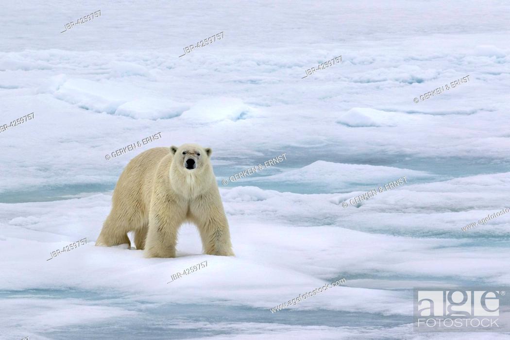 Photo de stock: Polar bear (Ursus maritimus) walking across pack ice, Spitsbergen, Norway.