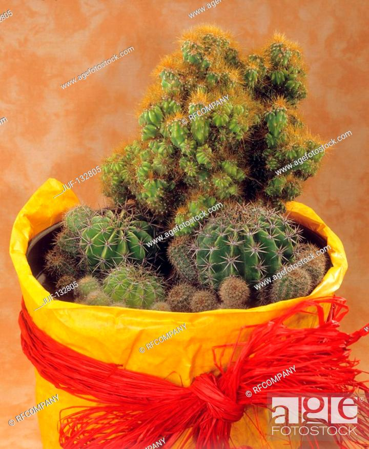 Stock Photo: different cacti in flowerpot.