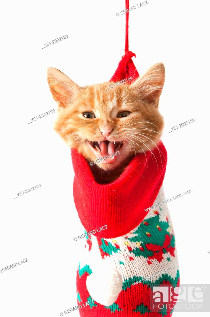 Stock Photo: Red Tabby Domestic Cat, Kitten Meowing, standing in Christmas Sock.