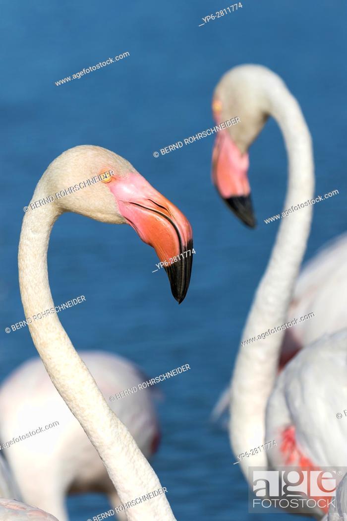 Stock Photo: Greater flamingo (Phoenicopterus roseus), portrait of an adult, Camargue, Bouches-du-Rhône, Provence, France.