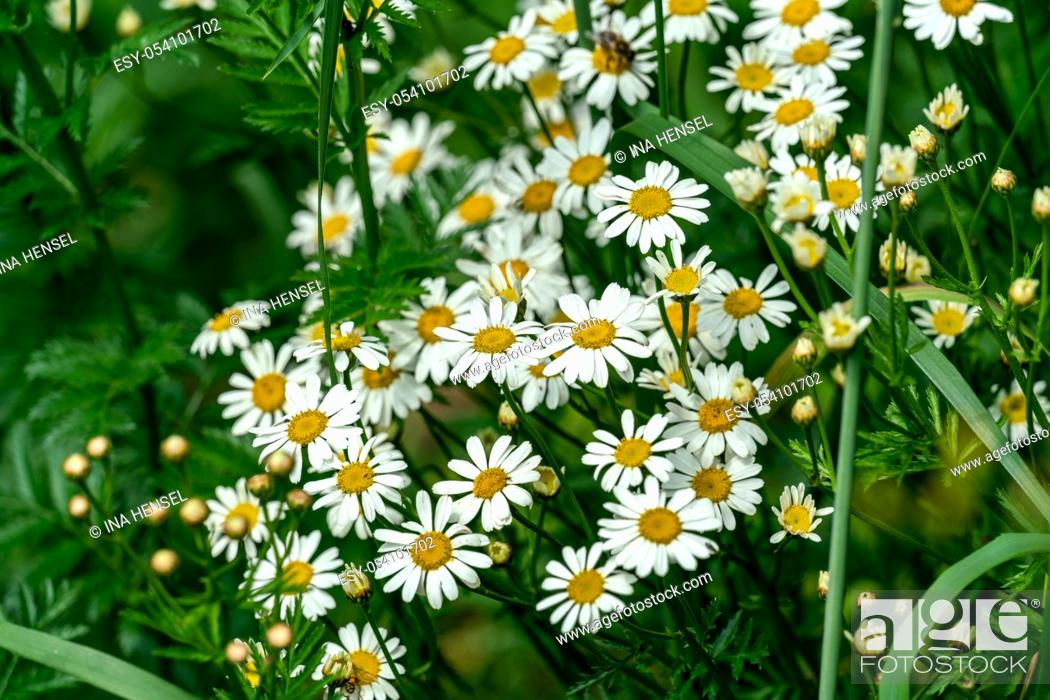 Stock Photo: close up of many white Matricaria chamomilla (chamomile) flowers in bright sunshine.