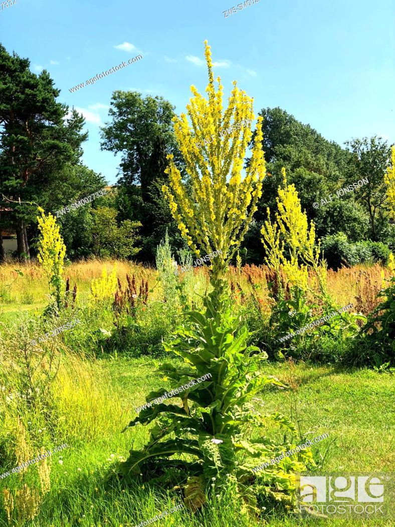 Stock Photo: Great Mullein (Verbascum) in a meadow in Löderup, Scania, Sweden; Scandinavia.
