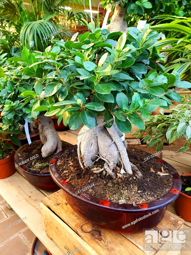 Imagen: Ficus Ginseng Bonsai Tree (Ficus retusa) in a Garden Center. Ginseng ficus bonsai trees are very hardy and easy to take care of.