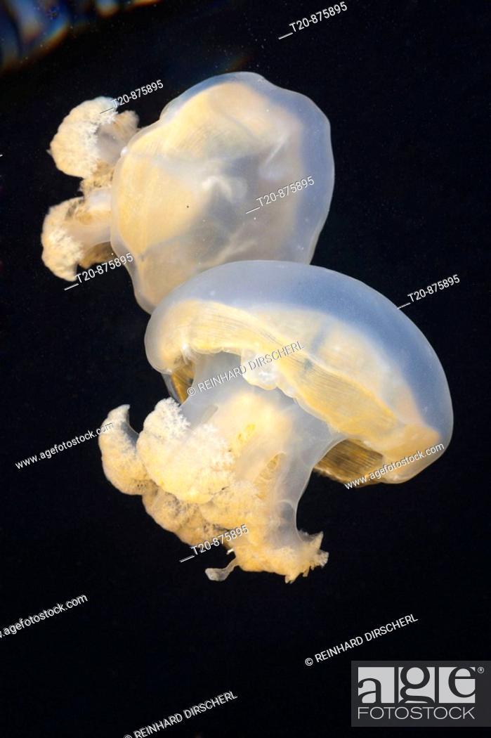 Stock Photo: Jellyfish in Marine Lake, Mastigias papua etpisonii, Jellyfish Lake, Micronesia, Palau.