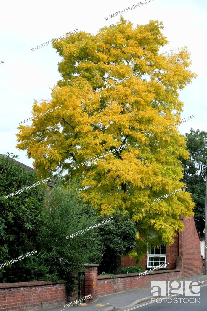 Robinia Pseudoacacia Frisia Golden False Acacia Can Grow To
