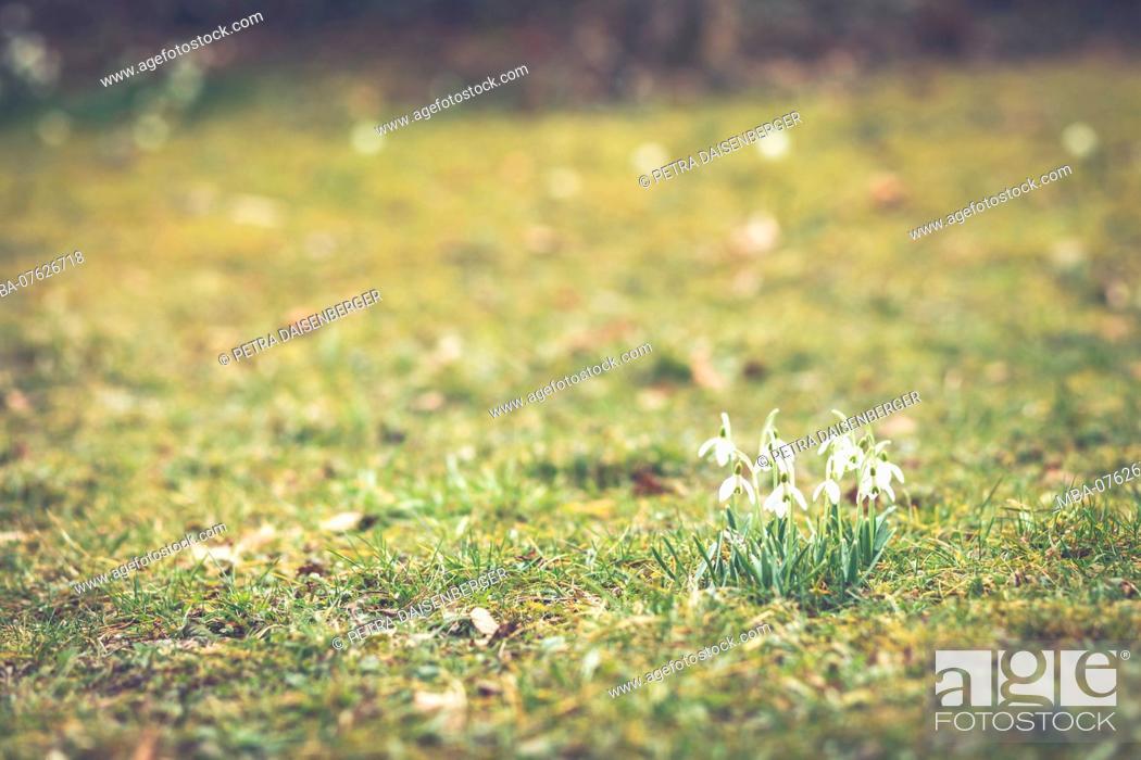 Stock Photo: Snowdrop (Galanthus).