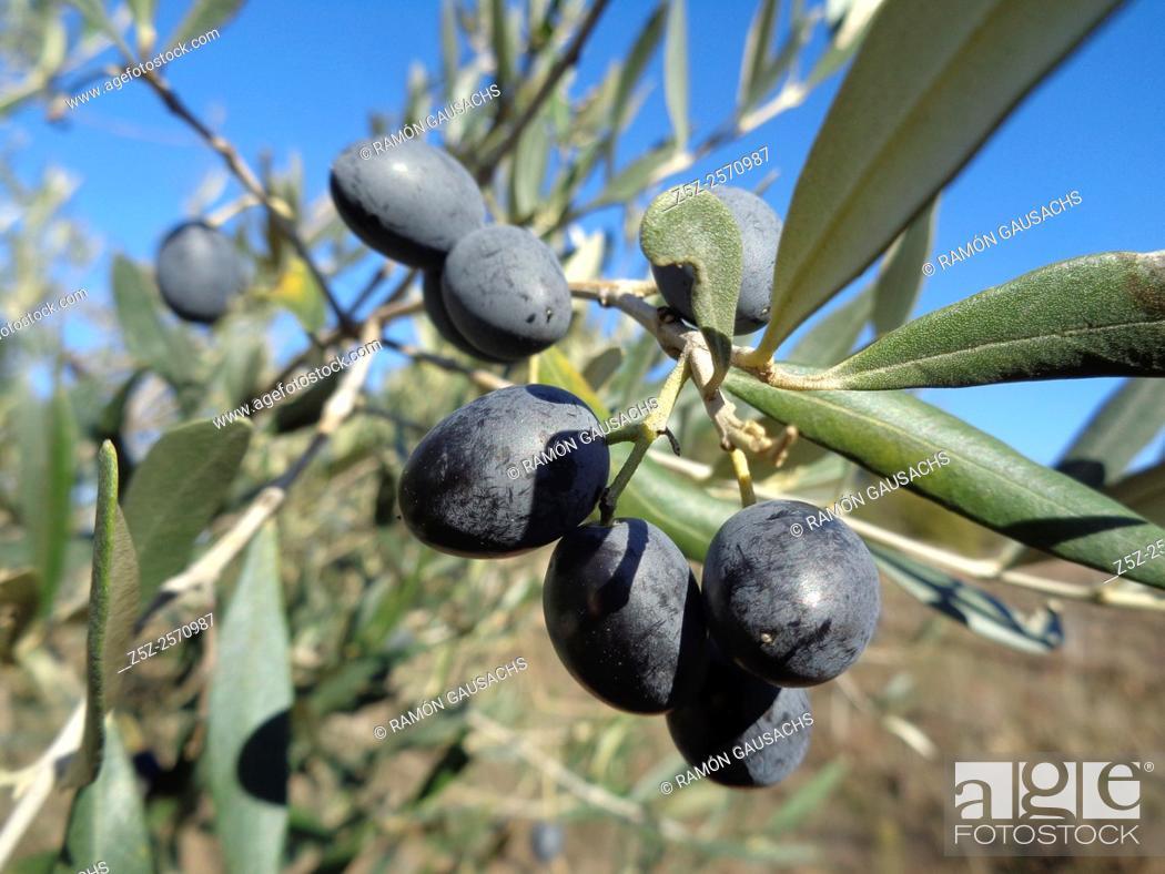 Stock Photo: Olea europaea.