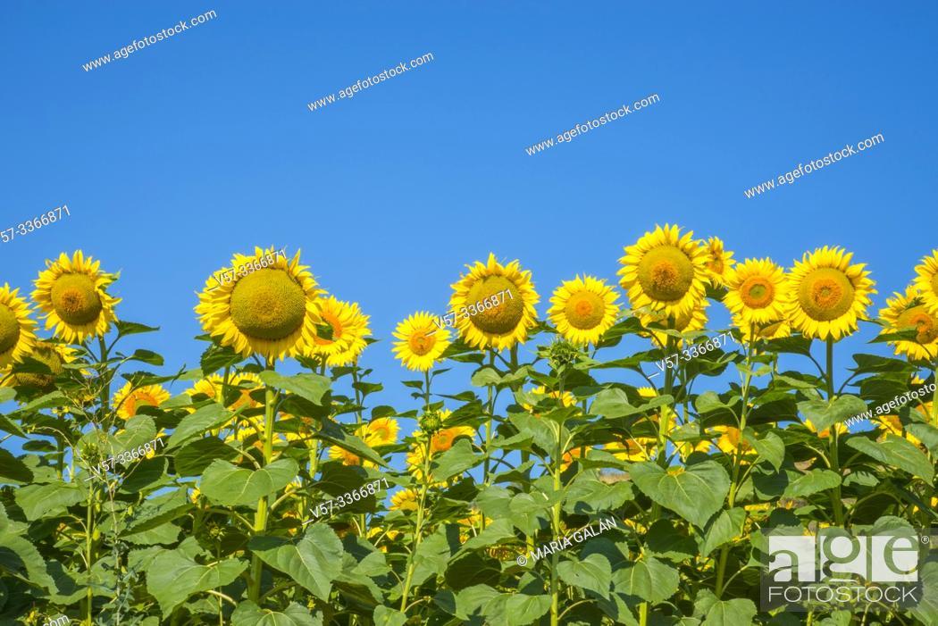 Stock Photo: Sunflowers against blue sky.