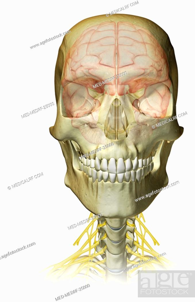 The brain and cervical nerves, Stock Photo, Picture And Royalty Free ...
