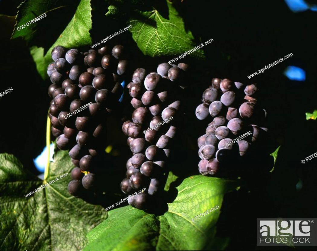 Stock Photo: vine, landscape, summer, season, scene, closeup, nature.