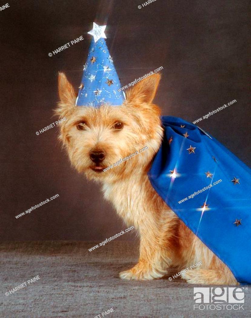 Stock Photo: Norwich Terrier.