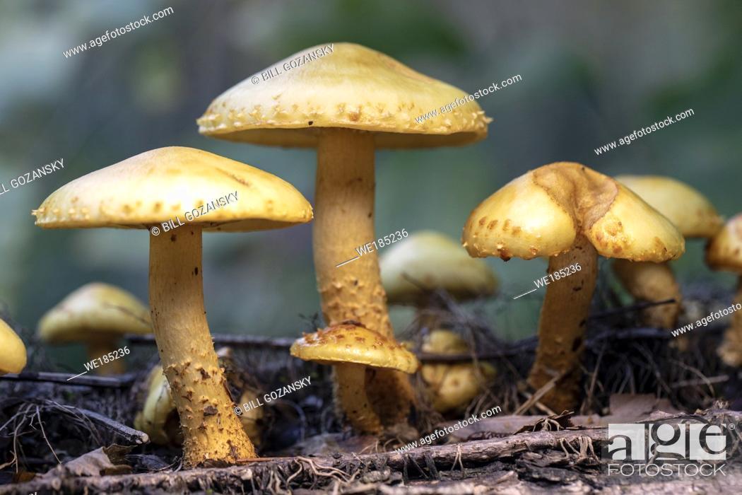 Stock Photo: Pholiota species of mushroom - Pisgah National Forest, Brevard, North Carolina, USA.
