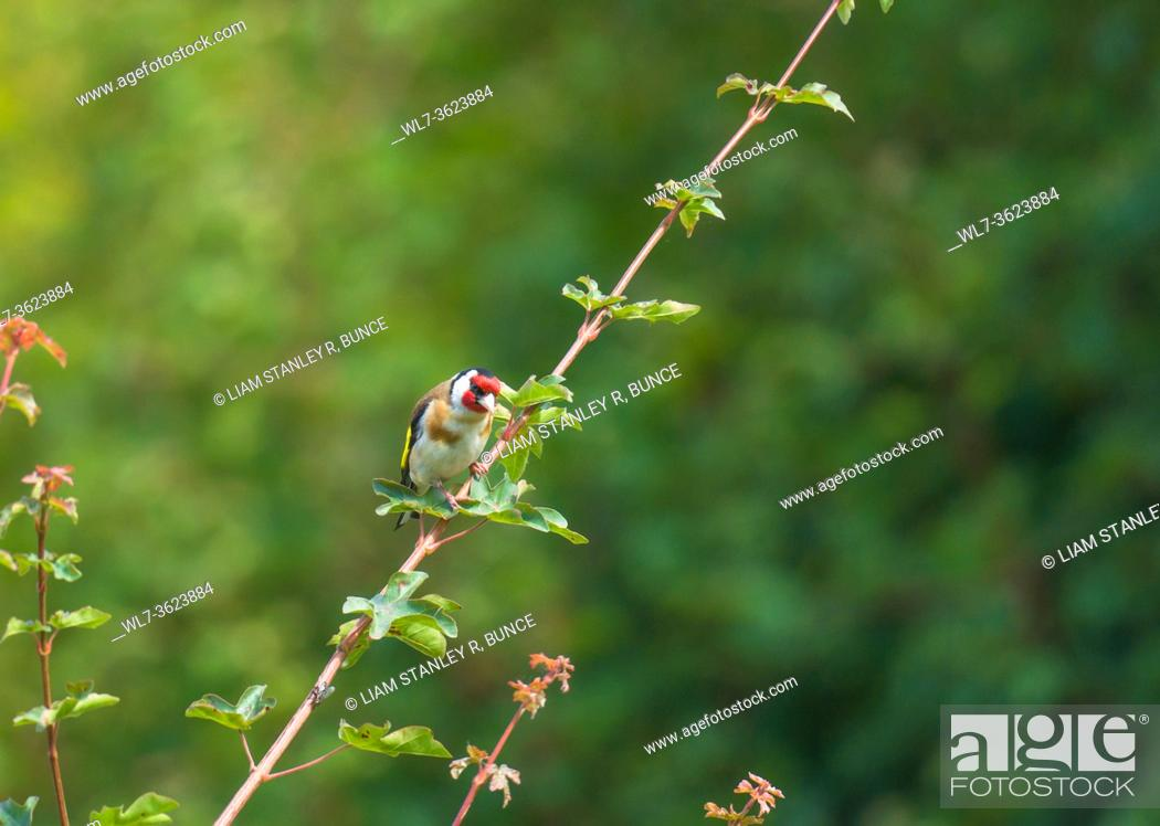 Stock Photo: Goldfinch (Carduelis carduelis) perched on Field maple branch on a nature reserve in the Herefordshire UK countryside, July 2020.
