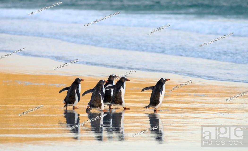 Photo de stock: Gentoo Penguin (Pygoscelis papua), Falkland Islands. South America, Falkland Islands, January.