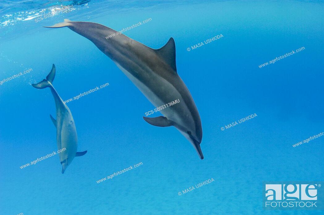 Stock Photo: Hawaiian spinner dolphins, Stenella longirostris, Honomalino Bay, Milolii, Big Island, Hawaii, USA, Pacific Ocean.