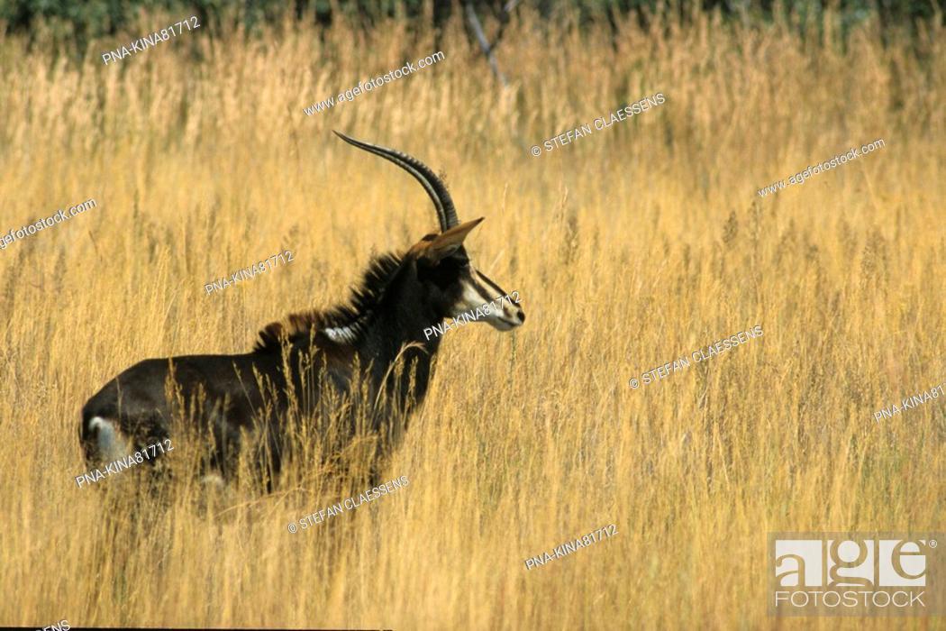 Stock Photo: Sable antelope Hippotragus niger - Matopos national park, Matobo Hills, Bulawayo, Zimbabwe, Africa.