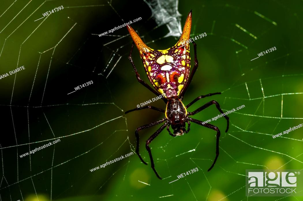 Stock Photo: 'Arrow-shaped Micrathena' (Micrathena sexspinosa), So once again aposematic coloration comes into play, the spider is dressed in a black and yellow checkered.