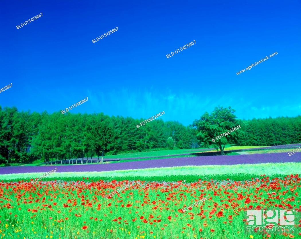 Stock Photo: Flower field and blue sky.