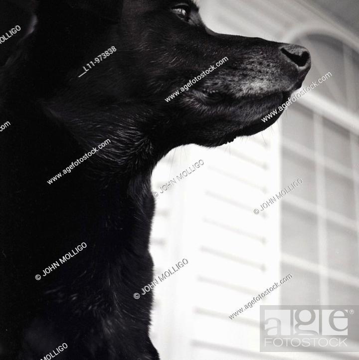 Stock Photo: Black labrador retriever, close-up profile.