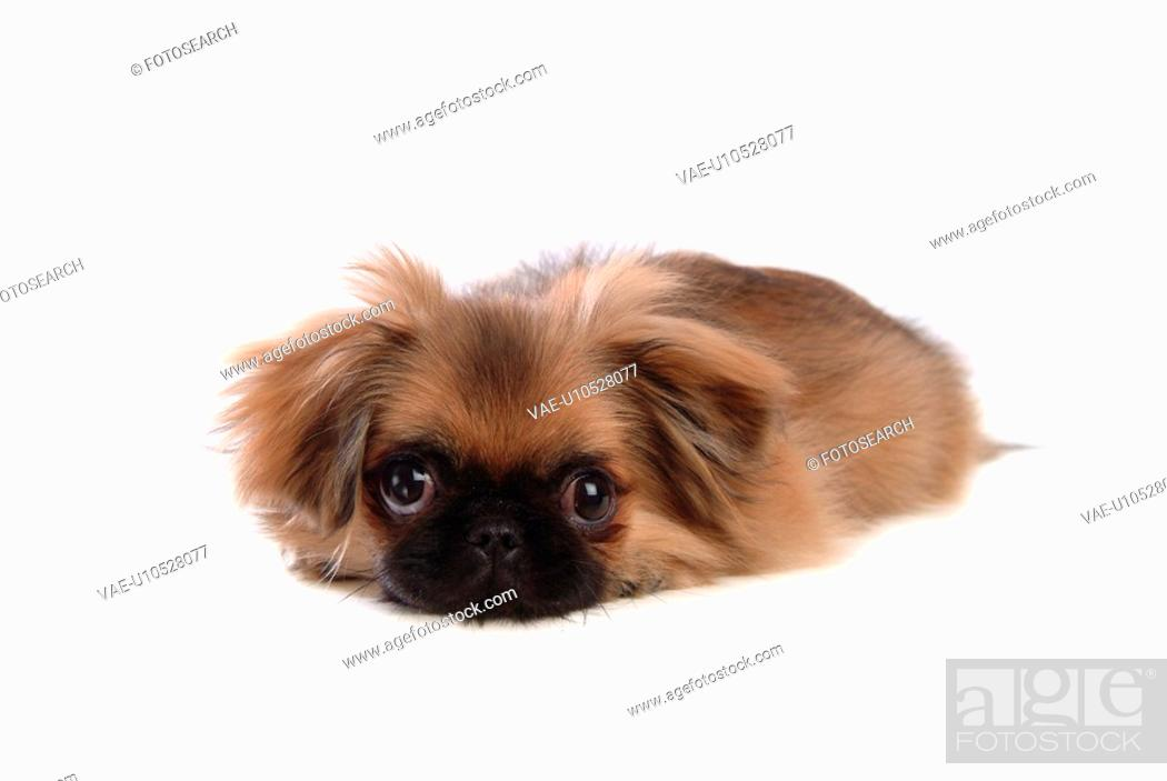 Stock Photo: canine, dog, close up, domestic animal, pet, companion, pekingese.