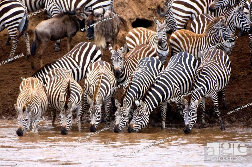 Stock Photo: Burchell's Zebras or Plains Zebras (Equus burchellii) crossing the Mara river; Masai Mara National Park, Kenya, East Africa.