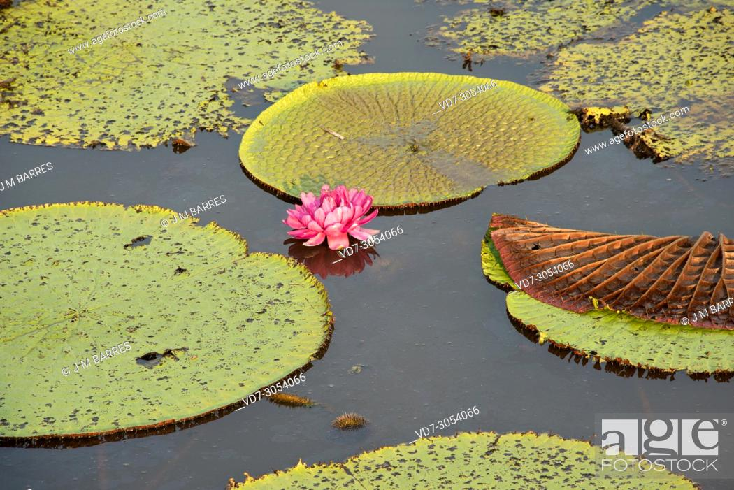 Stock Photo: Victoria water lily (Victoria amazonica or Victoria regia) ia an aquatic plant native to shallow waters of Amazon River. This photo was taken in January Lake.