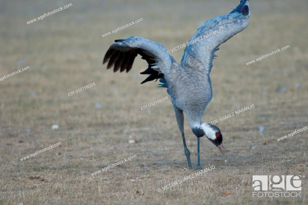 Stock Photo: Common crane (Grus grus) without part of one leg searching for food. Gallocanta Lagoon Natural Reserve. Aragon. Spain.