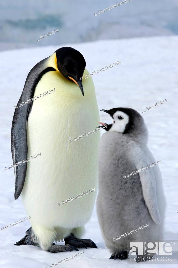 Stock Photo: Emperor Penguin (Aptenodytes forsteri). Adult with yawning chick standing on ice. Snow Hill Island, Antarctica.